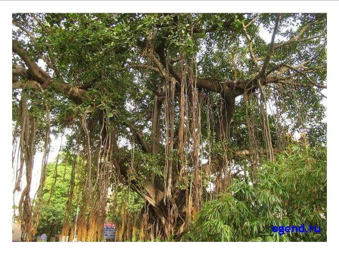 Дерево баньян дерево познания добра и