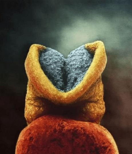 8 дней. Эмбрион, прикрепленный к слизистой матки 4