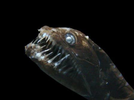 Рыб из рода Идиакантовые часто называют рыбами-черными дьяволами из-за их внешности