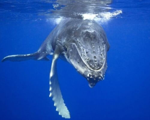 одинокий кит с голосом в 52 Гц