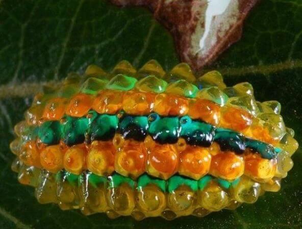 Кристальная гусеница (Acraga coa)