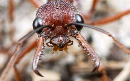 челюсти муравья