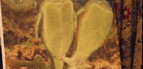 Древние рыбы Microbrachius dick