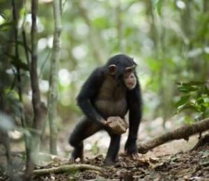 Шимпанзе - ближайший родственник человека