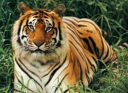 Бенгальский тигр - исчезающий вид