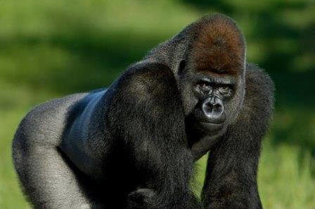 западная горилла - исчезающий вид