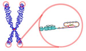 теломеры на хромосоме