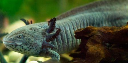 мексиканская саламандра
