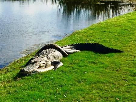 питон и аллигатор