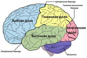 диаграмма мозг