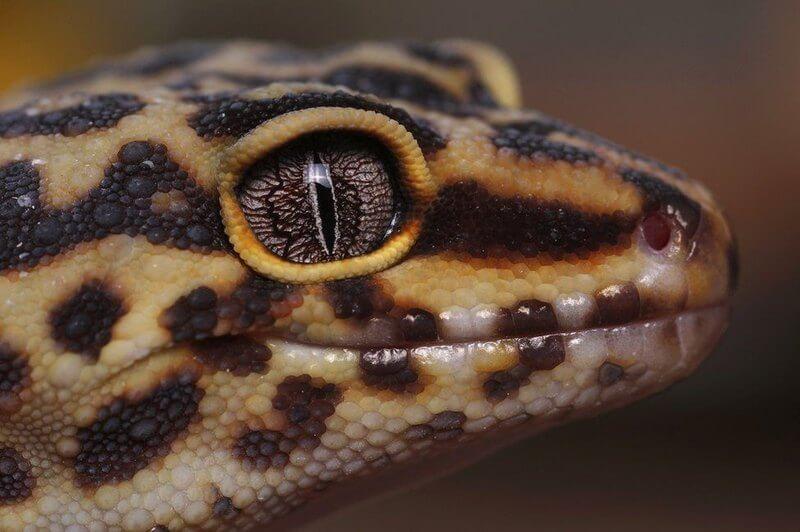 геккон
