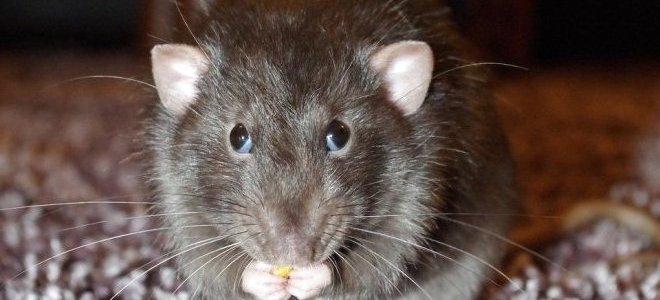 гепатит-крысы