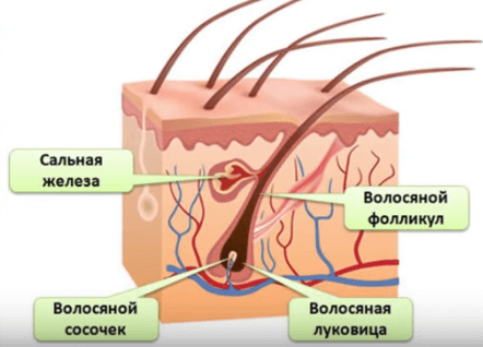 фоликулы