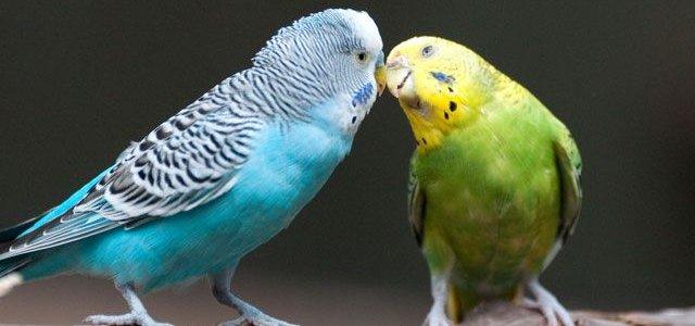 Самки волнистых попугайчиков любят сообразительных самцов