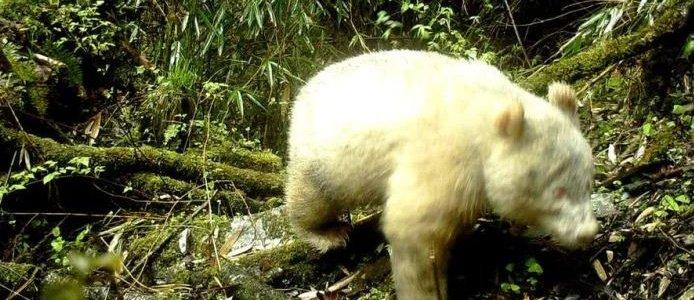 В Сети появилось первое в мире фото гигантской панды-альбиноса