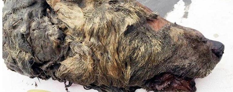 В Якутии нашли огромную голову доисторического волка