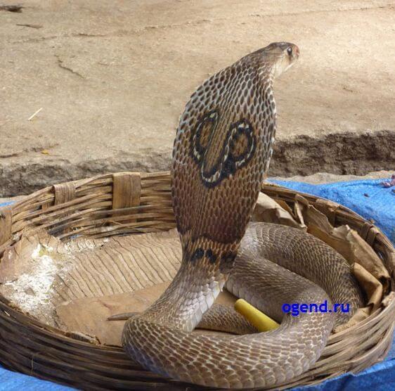 королевская кобра 3