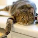 Ученые создали вакцину от аллергии на кошек