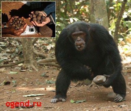жадность обезьян 6