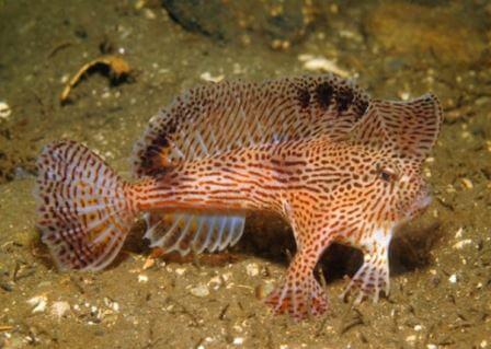 Рыбы семейства Брахионихтовые (Brachionichthyidae)