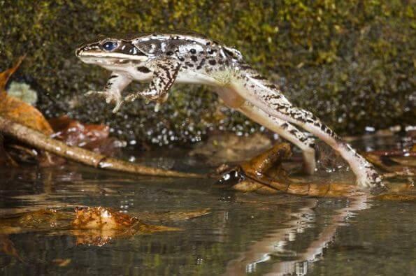 Лесная лягушка (Rana Sylvatica) 1