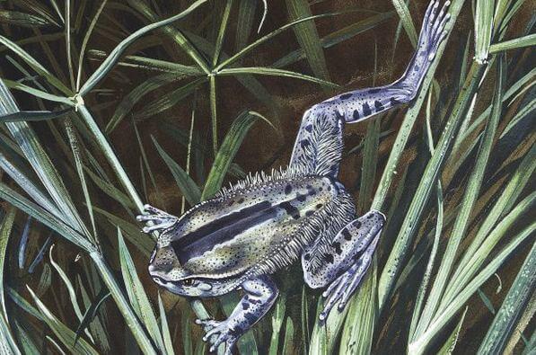 Волосатая лягушка (Trichobatrachus Robustus) 1