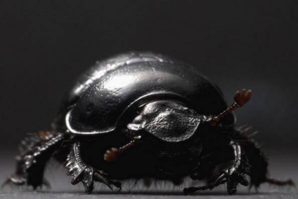 Жук-навозник Onthophagus taurus 1