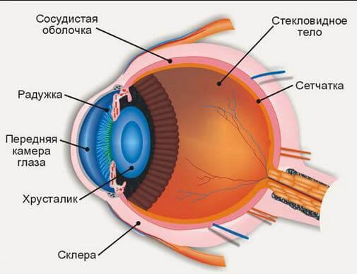 устройство глаза человека