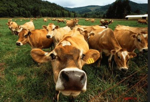 коровы, стадо