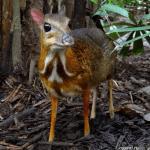 Канчиль - самый маленький олень в мире