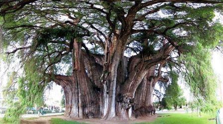 Самое толстое дерево в мире - Туле