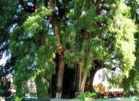 Самое толстое дерево в мире - Туле 1