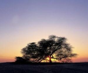 """Дерево """"Хаджарат аль Хая"""" 3"""