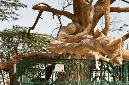 """Дерево """"Хаджарат аль Хая"""" 2"""