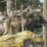 Волки - это не просто санитары леса