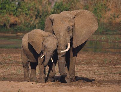 слоны - самые сочувствующие животные