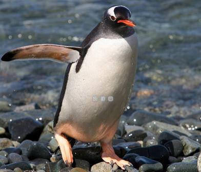 папуанский пингвин