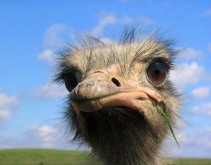 у страусов самые большие глаза