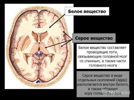 серое и белое вещество мозга