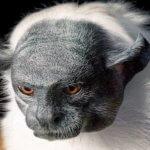 Исчезающий вид приматов Пегий Тамарин