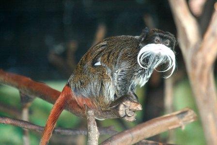 императорский тамарин живет в Южной Америке