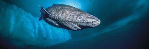 самая старая акула