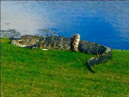 питон и крокодил
