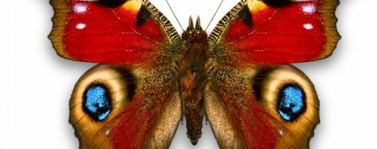 Исследование показало удивительное количество потока генов среди видов бабочек