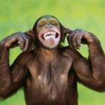 Культурные традиции и умения обезьян не передаются, если они живут рядом с людьми