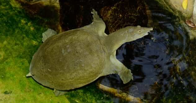 китайская черепаха