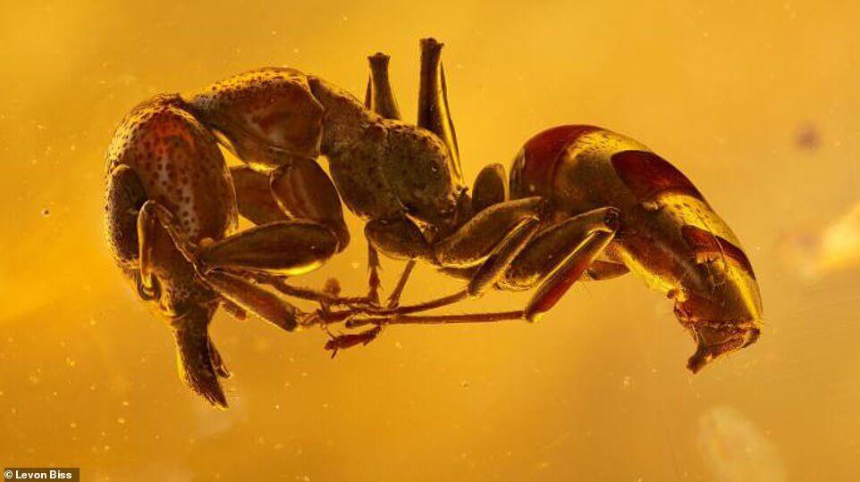 муравей-янтарь