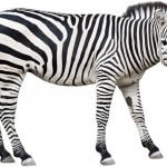 Почему зебра полосатая