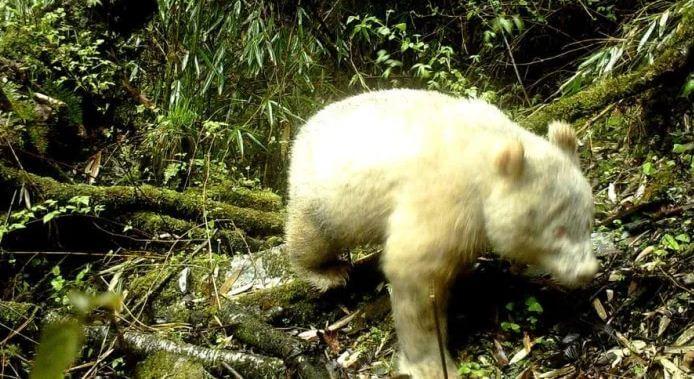 панда альбинос