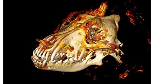 череп ископаемого волка